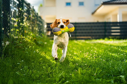 tricolor-beagle-dog-fetching-a-riped-toy