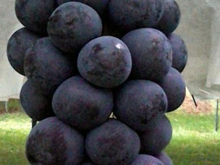 今年も葡萄が実ってます