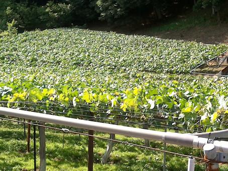 上から見た葡萄棚