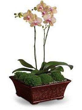 Orquidea phalenopsis en Base