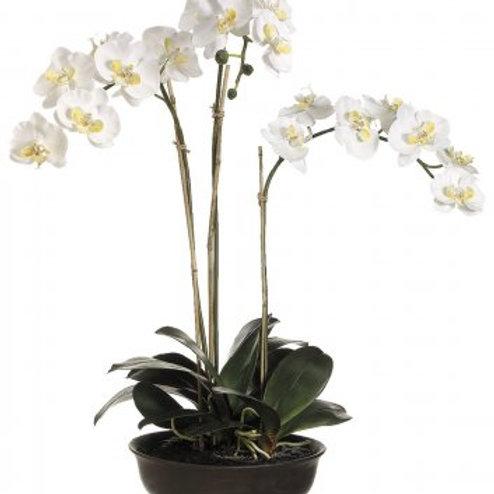 Orquídea de doble bara