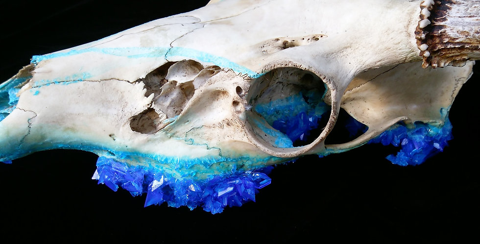 Crystallized Buck Skull