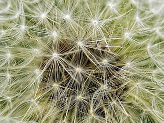 dandelion 1.png