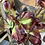 Thumbnail: Alstroemeria Lily