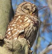 Neighborhood Barred Owl