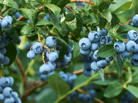 Blueberries Hit the Big Time
