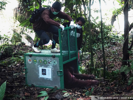 Hope for Bornean Orangutans: Successful NGO Partnership Releases Orangutans Back into the Wild