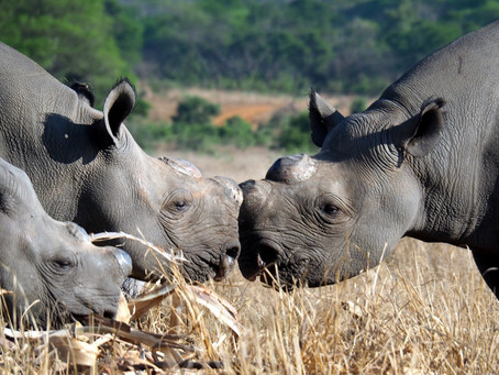 Celebrations in Zimbabwe for Africa's Critically Endangered