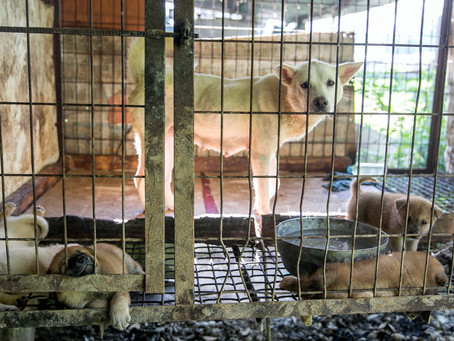 90+ Dogs Rescued From South Korean Dog Meat Farm