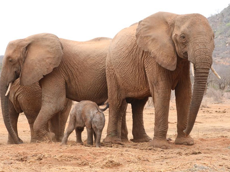 Re-wilded Elephant Returns to Her 'Human Family' to Give Birth to Her First Wild-Born Calf