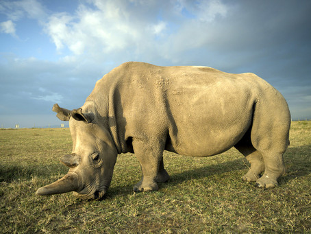 New Hope: Breakthrough in Northern White Rhino Recovery Programme
