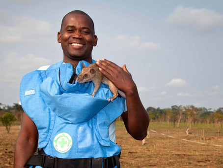 Rats Who Save Lives: How Hero Sniffer Rats Clear Killer Minefields
