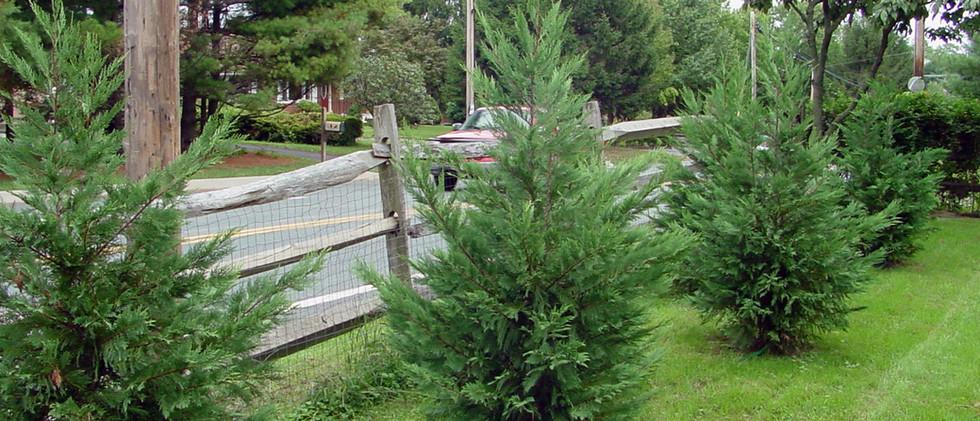 Leyland Cypress2.jpg