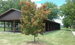 Park-tree