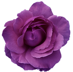 purple-rose-png-8.png