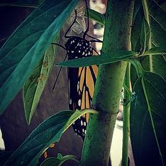 My first #monarch 🦋 _#itsagirl #dontmin