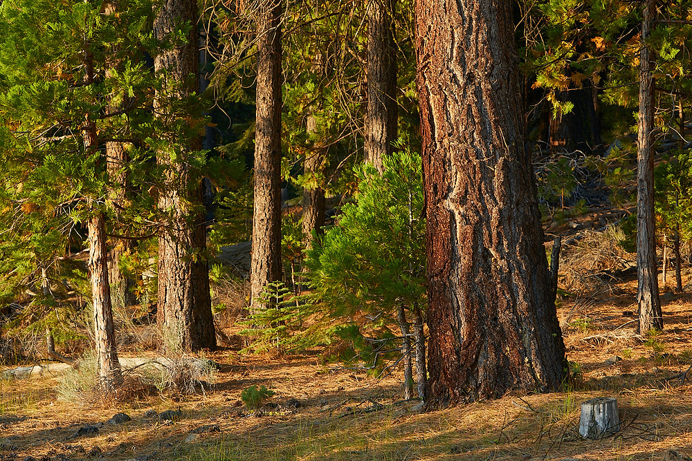 Comfort as young pines grow in the nurturing shadows of Mother Pine