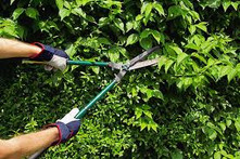 trimming hedges
