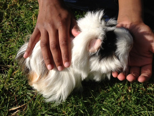 Guinea pigs are given lots of care at Somers Camp.