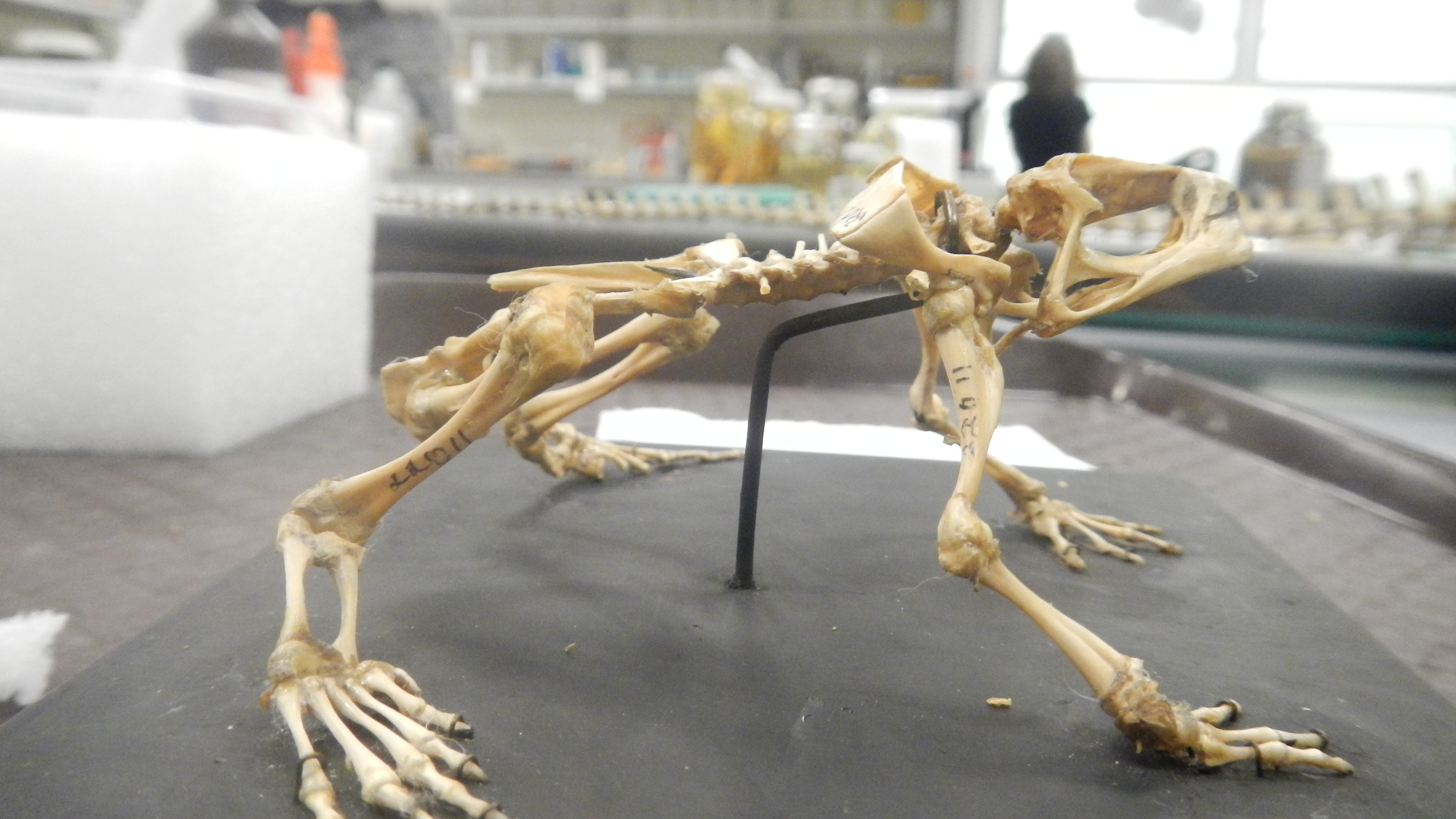 Anaxyrus americanus