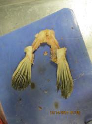 Atractosteus osseus (Alligator gar)