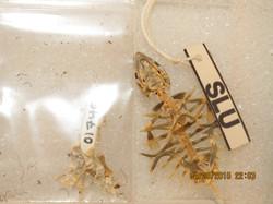Apalone spinifera (2/2)