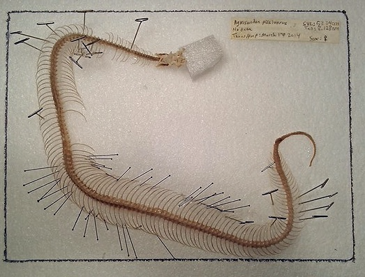 Agkistrodon piscivorous