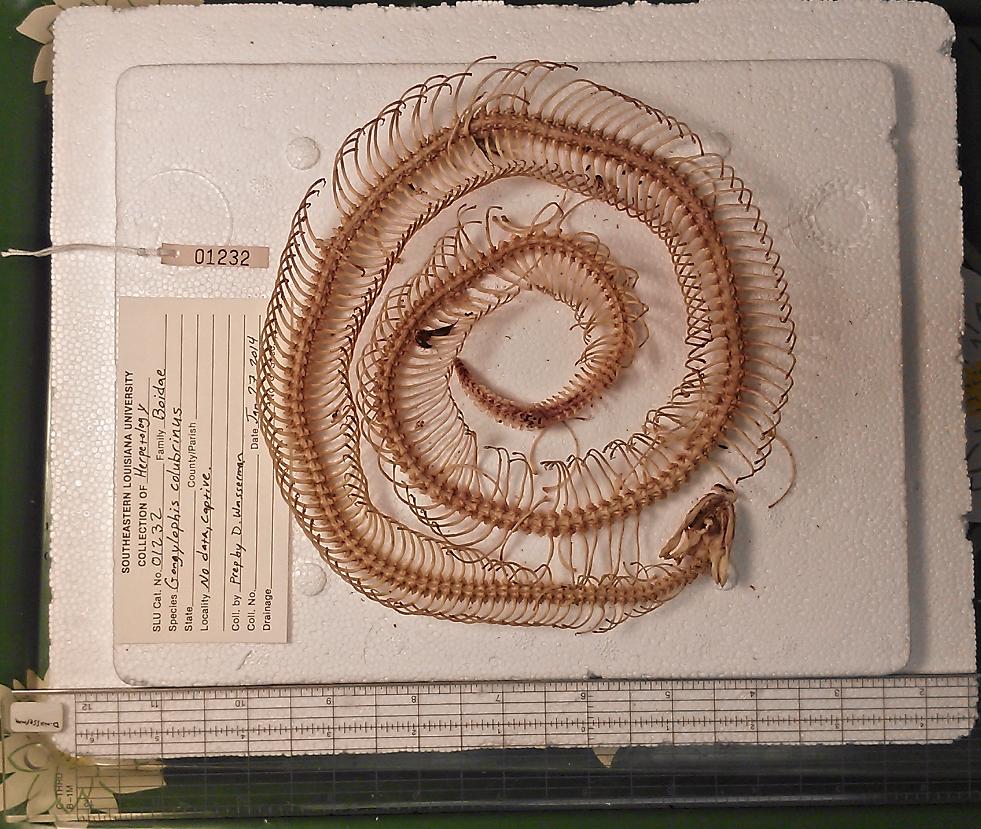 Eryx colubrinus (Kenyan sand boa)