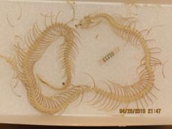 Heterodon platirhinos
