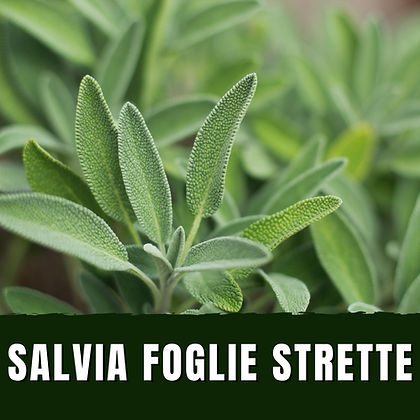 Salvia Officinalis a foglie strette