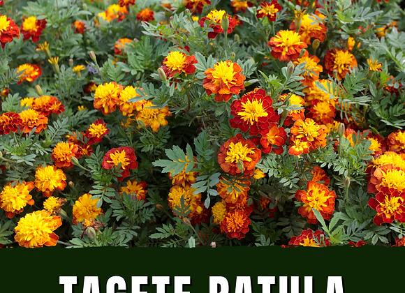 Tagete ( Garofanino d'India)