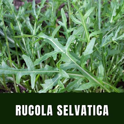 Rucola Selvatica