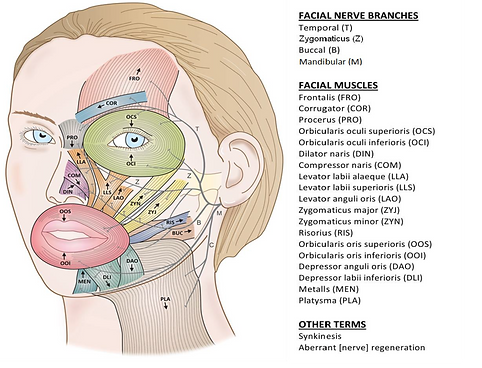 Facial Muscle Diagram.png
