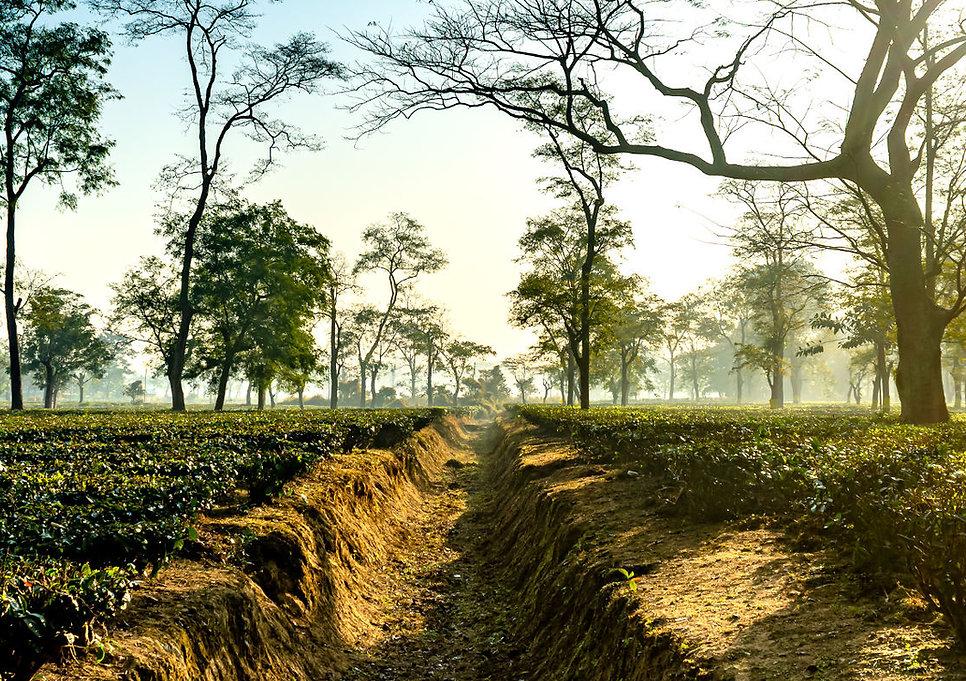 Assam Schwarztee.jpg
