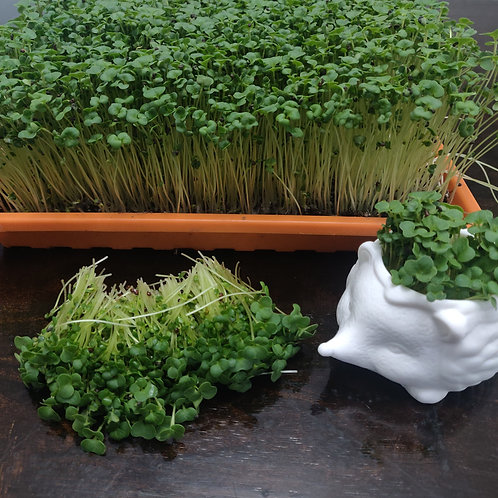 Pre-Order Broccoli MicroGreens