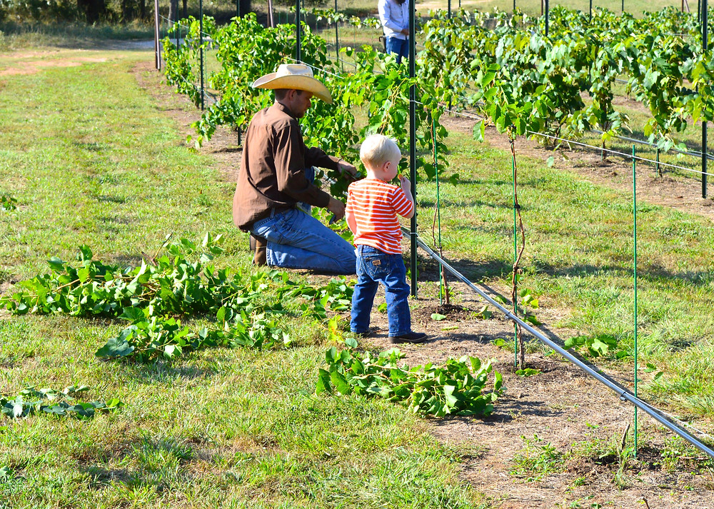 Pictured: Weston McCoury, Winemaker for Fiesta Winery and his son Rhett are tending to the vines in the estate vineyard.