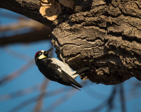 Acorn Woodpecker Atascadero California