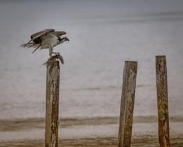 Osprey Oso Flaco Lake Arroyo Grande California