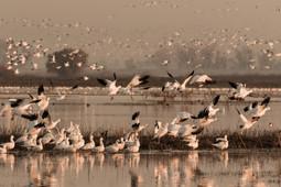 Snow Geese Merced Wildlife Refuge California