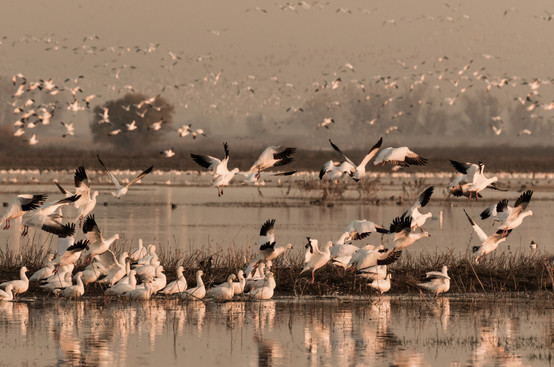 Snow Geese Merced Wildlife Refuge California