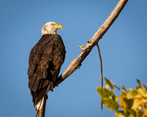 Bald Eagle visiting Atascadero Lake California