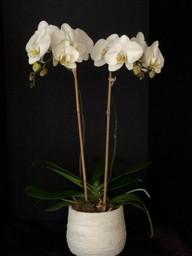 Double stem phalaenopsis orchid
