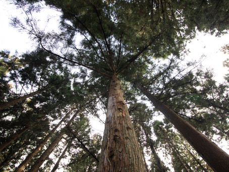 Real Christmas Trees Vs. Fake Christmas Trees // The Environmental Impact of Christmas Trees