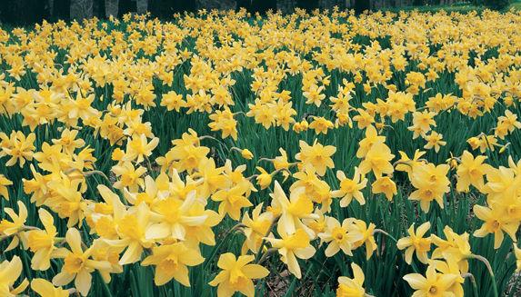 SNR_Daffodils_New.jpg