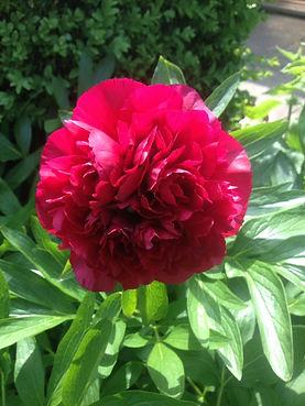 Mea camellia.jpg