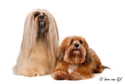 lhasa apso Coco and Taffy