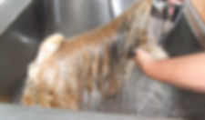 lhasa apso vachtverzorging lhasa apso fokker