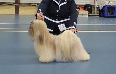 lhasa apso lhasa apso puppie's lhasa apso fokkers lhasa apso kennel
