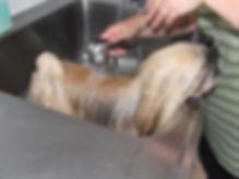 lhasa apso pups lhasa apso top fokkers