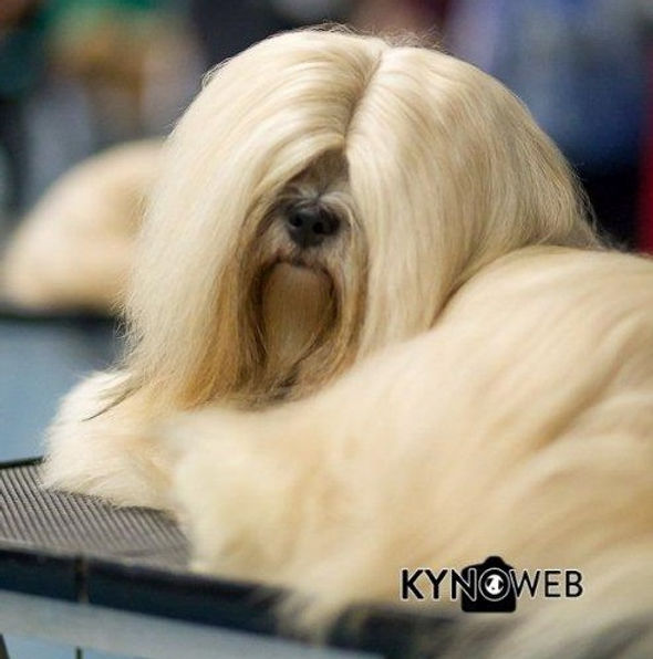 Lhasa Apso Close To Perfection Kennel